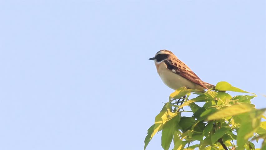 Beautiful small tree sparrow singing at the branch.  | Shutterstock HD Video #16450636