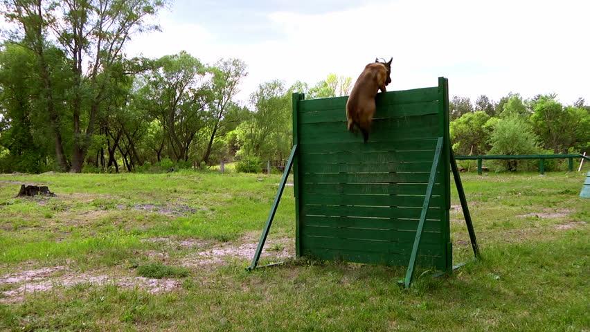 Dog jump over the barrier. Training Belgian Shepherds. Slow motion