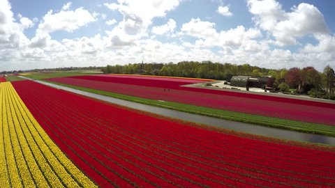 Aerial drone flying over flower tulip fields towards windmill revealing bright colors of red yellow pink flowers then towards Keukenhof Windmill mill blades moving slowly by wind amazing landscape 4k