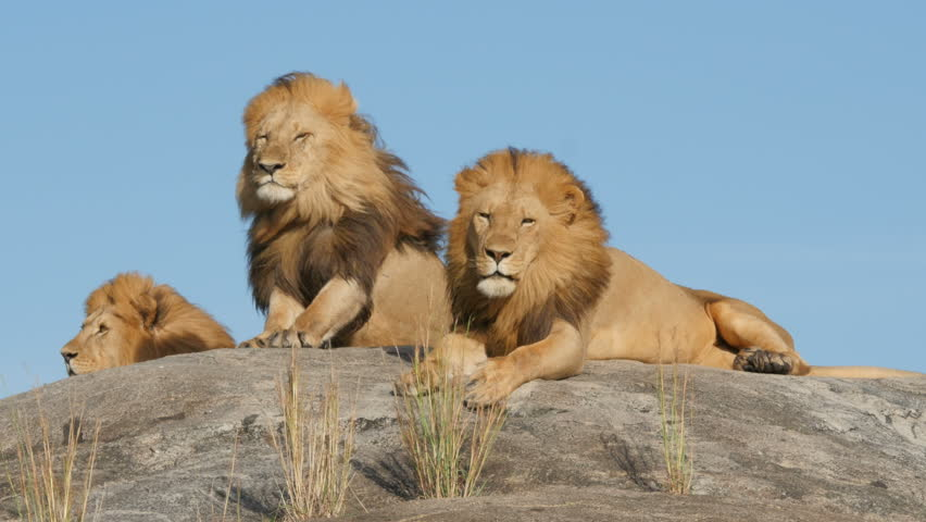 3 big male lions lying on the rocks in Serengeti national park Tanzania - 4K | Shutterstock HD Video #16540462