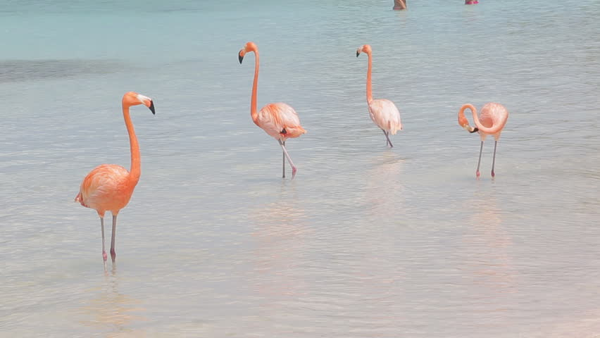 Pink flamingos on the beach. Flamingo beach at Aruba