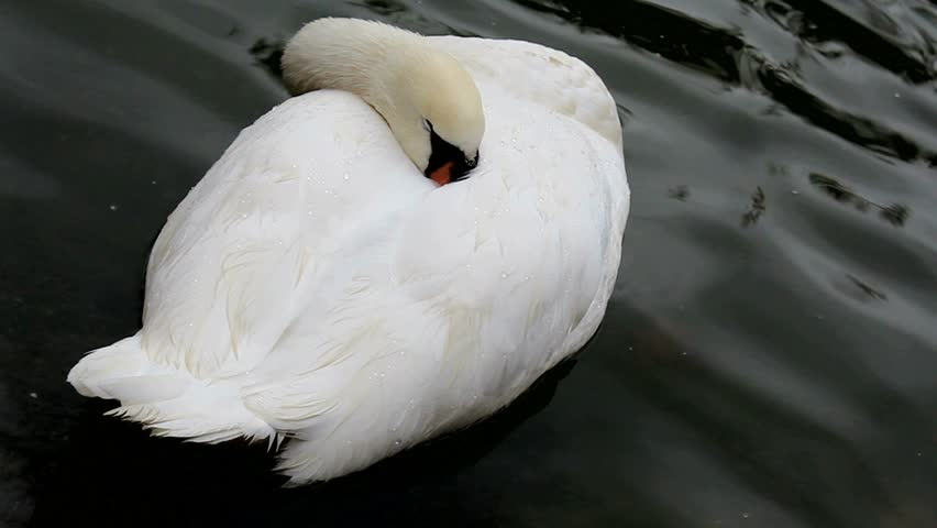 Swan nestles its beak in white feathers, floats on water, sleeps. 1080p
