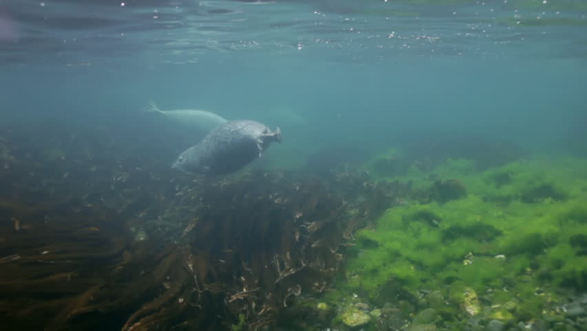 Baby Harbor gray spotted seal largha swims in underwater grass in Japan Sea and pose for  video camera underwater. Amazing underwater world and the inhabitants, fish, stars, octopuses. | Shutterstock HD Video #16601143
