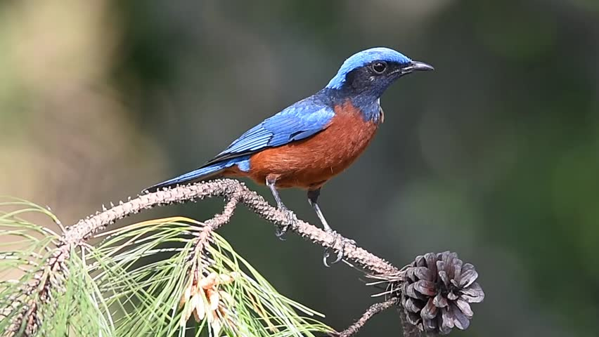 A male Chestnut-bellied rock thrush (Monticola rufiventris) in natural habitat, national park of northern Thailand. | Shutterstock HD Video #16611280