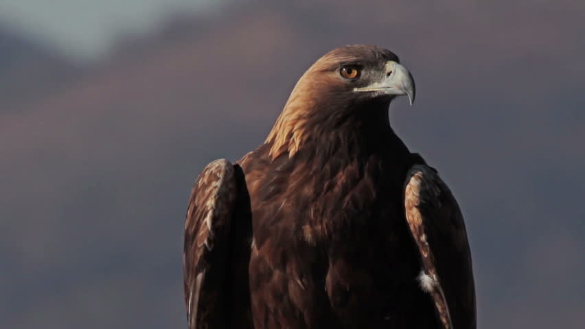 Winter in the mountains. Golden Eagle (Aquila chrysaetos) perched on its favorite roosting place.