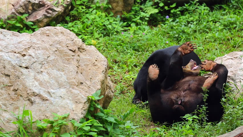 Malayan Sun Bear or Honey Stock Footage Video (100% Royalty-free) 16661053  | Shutterstock