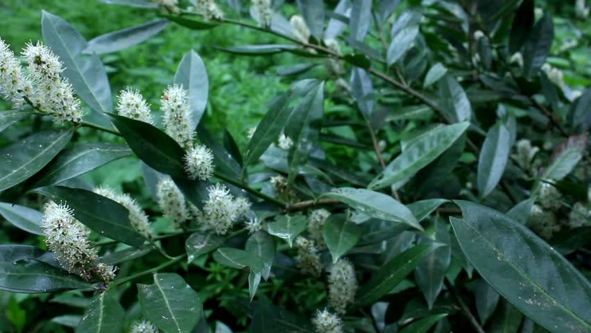 Viburnum flower    Shutterstock HD Video #16683403