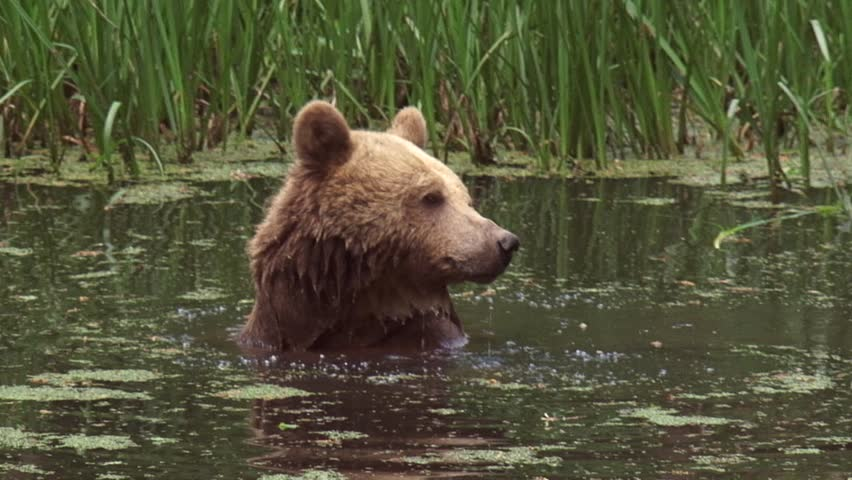 Brown Bear, ursus arctos,  takes a bath. Brown Bears are comfortable in the water and can swim well.