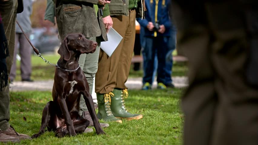 Weimaraner dog sit next to owner. Friendly brown hunter dog sit next to owner legs and observing surroundings.