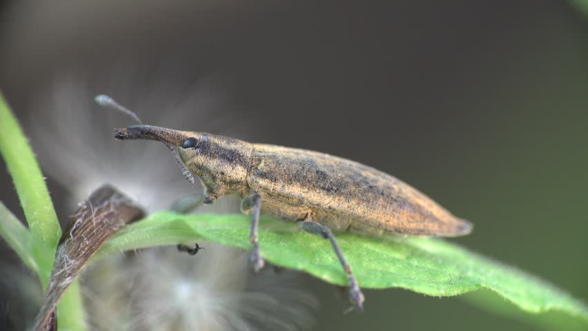 Header of Lixus angustatus
