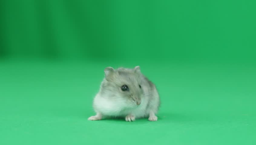 Hamster looks at the green screen #16744813
