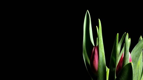 Time Lapse Tulip Sequence Day 37 >> Timelapse Of Orange Yellow Cancun Stock Footage Video 100 Royalty