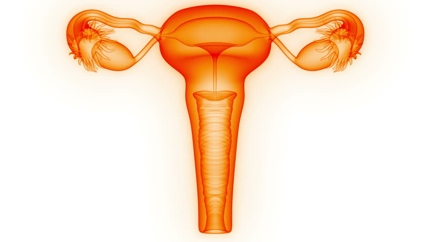 Female Reproductive System. 3D