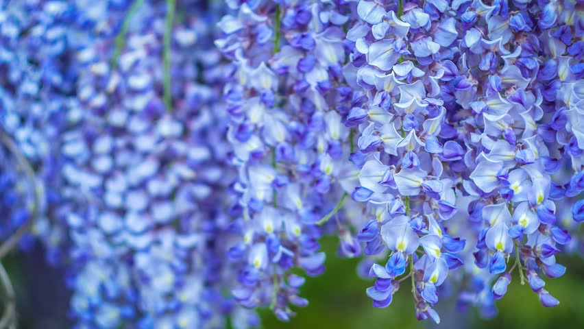 Wisteria close up on evening, wind slightly moving the hanging flowers. Deep green background