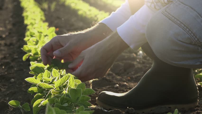 Farmer examining young soybean plants growth in cultivated field, agricultural soy field rows in sunset.