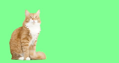 cat meowing on a green screen