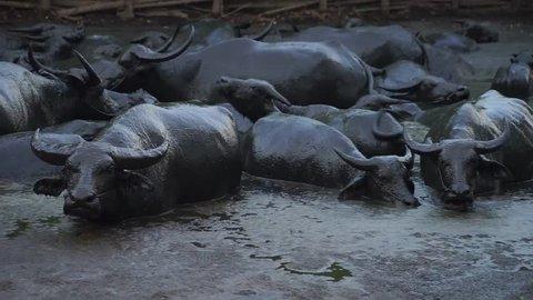Asia buffalo , Thailand