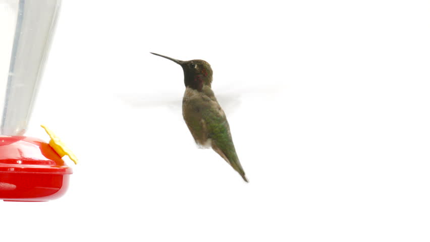 Hummingbird drinking from feeder close-up on isolated white background, shot in 4K UHD. #16905013