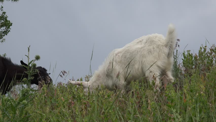 Two White and black goats grazing on green meadow at edge of farms