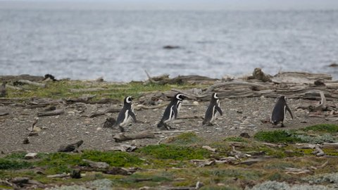 A group of 4 Magellanic penguin on the beach at Otway Sound Penguin Colony