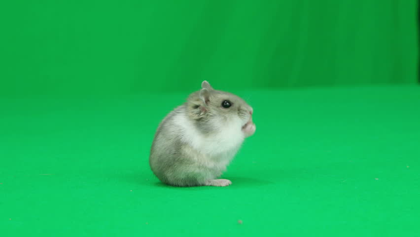 Hamster standing on the green screen #16914943