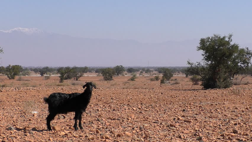 Black African goat standing alone on brown arid Moroccan land with some argan trees and snow covered High Atlas mountains in the background.Then goat goes away.