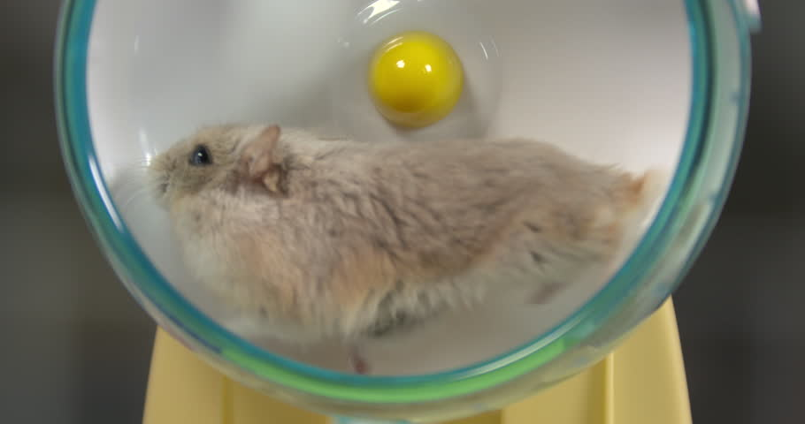 Close-up of hamster running fast on hamster wheel in real time, 4k.