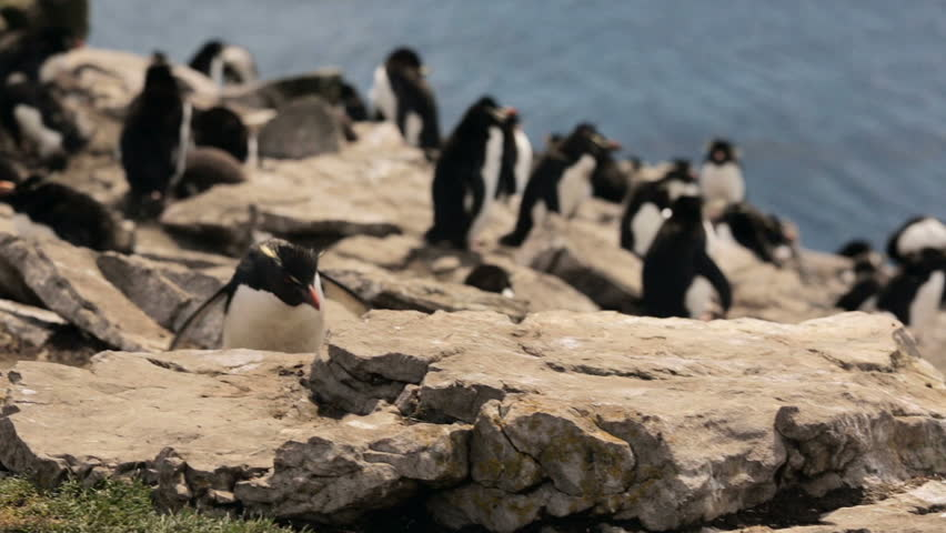 A Rockhopper penguin colony in Falkland Islands