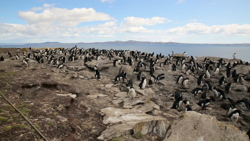 A pan shot of a Rockhopper penguin colony
