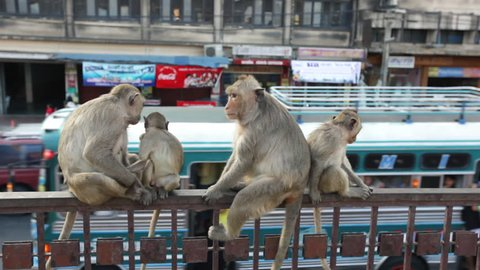 Lopburi city in Thailand, thousands of macaque monkeys live in freedom.  During the monkey festival. A group of monkeys sitting at the entrance of the temple Phra Prang Sam Yod, observes the street.