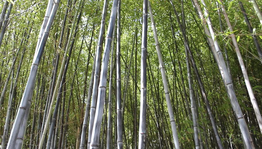 216cb4a0108c Beautiful Bamboo Forest Stock Footage Video (100% Royalty-free ...