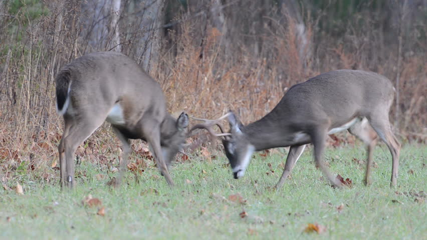 Two white-tailed deer bucks fight and spar in an open meadow as part of rut behavior