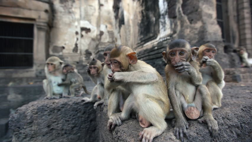 Lopburi city in Thailand, thousands of macaque monkeys live in freedom. During the monkey festival. A group of young curious monkeys play with the camera lens