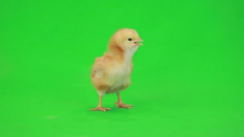 little chicken on the green screen