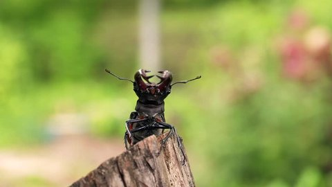 Stag beetle opens wings and flies off into the distance.