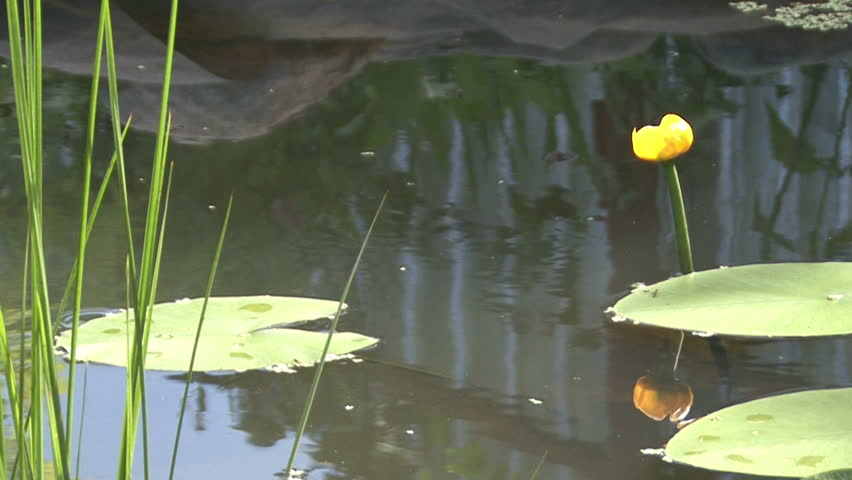 The man-made pond, blooming water Lily, the leaves of water lilies on the water, duckweed, a Sunny summer day, cool water, the camera moves, fish, swim, red