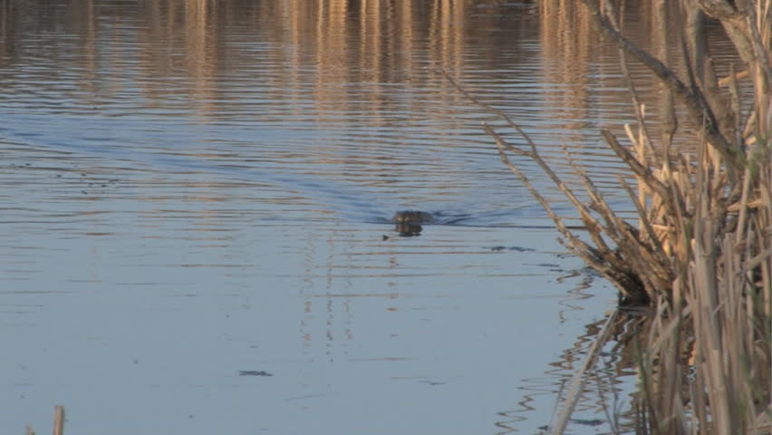 Muskrat swimming across bulrush lined pond with curious ducks following