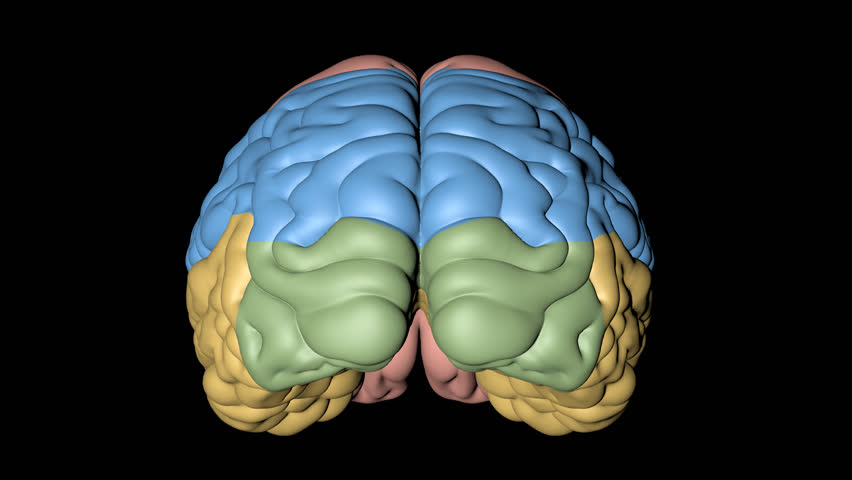 Animation of principal parts of a human brain represented for colours