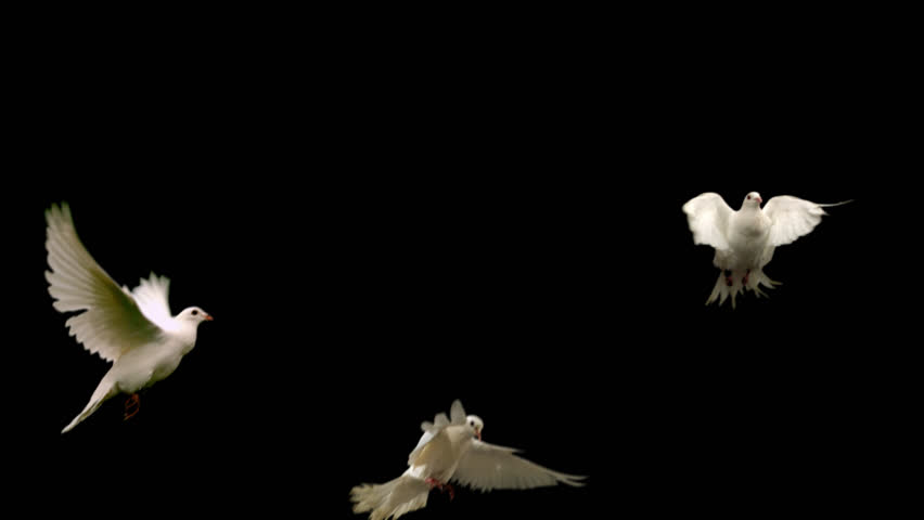 Three white doves - alpha matte Slow motion shot on green screen. Good for wedding backgrounds or titles.