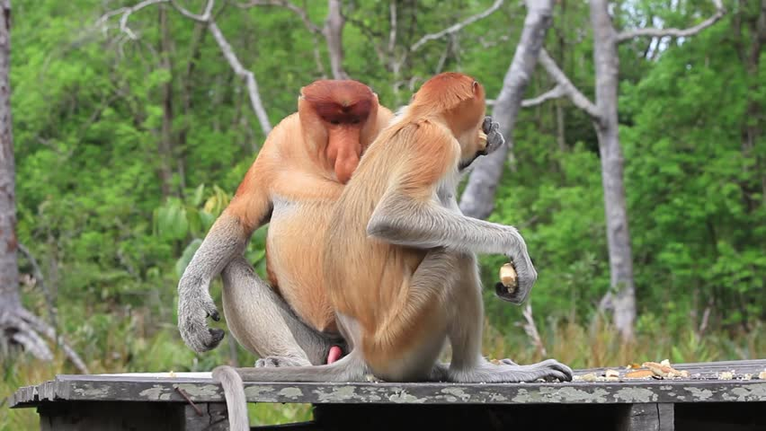 Proboscis monkey mating