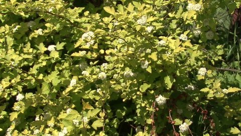Flowering Shrubs White Flowers  Camera Stock Footage Video