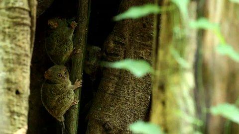 Tarsier family. Tarsier with kill. Spectral Tarsier, Tarsius spectrum, portrait of rare nocturnal animal, in the nature habitat, large ficus tree, Tangkoko National Park, Sulawesi, Indonesia, Asia