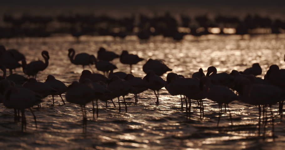 4K Lesser flamingos in silhouette against gold colored water