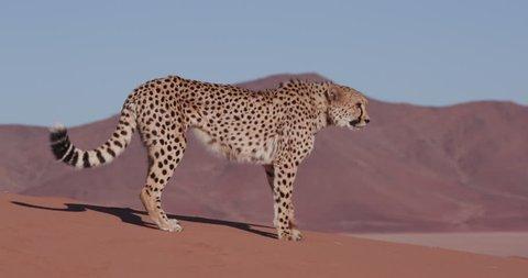 4K Cheetah walking on the red sand dunes of the Namib desert