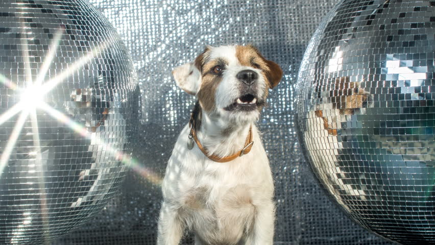 cute jack russell dog with headphones in a disco setting | Shutterstock HD Video #17565763