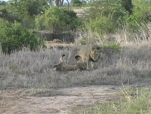 Male lion trying to mate with female but she is not interested