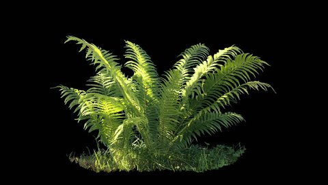 Beautiful fern bush, real shot green plant blowing on the wind, isolated on alpha channel with black and white luminance matte, perfect for film, digital composition, projection mapping