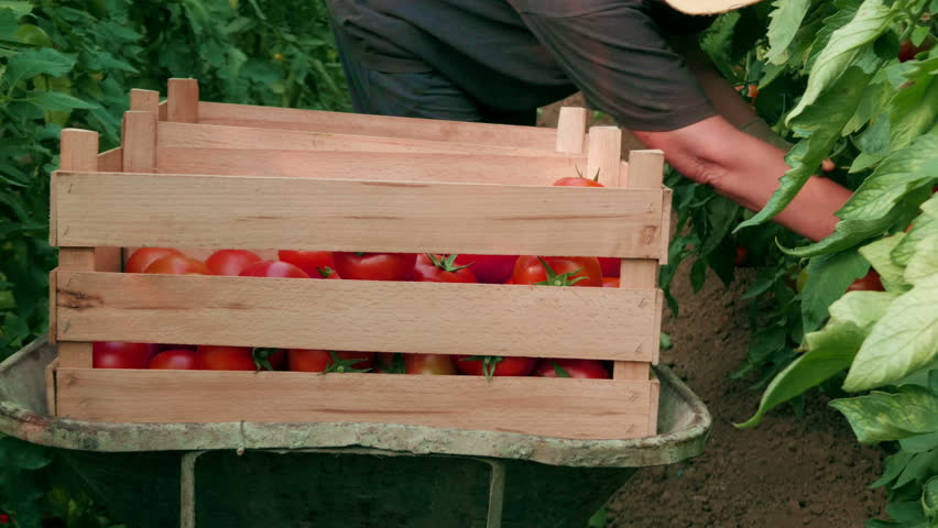 Farmer sorting ripe tomatoes in a wooden box, worker picking from the plants in a greenhouse, hands close up, daylight, outdoor.