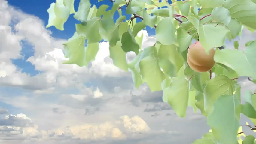 Apricot tree isolated, apricot tree witt soft white clouds & nice blue sky, time lapse, slow motion, Ultra HD, UHD, 4K, Apricot tree sun/sun rays between the branches of a tree apricot shine