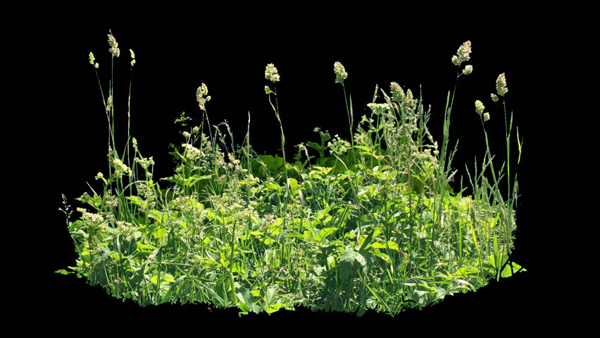 Beautiful piece of high grass, real shot green plant blowing on the wind, isolated on alpha channel with black white luminance matte, perfect for film, digital composition, projection mapping